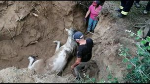Rescaten una euga que havia caigut en un forat a Móra la Nova