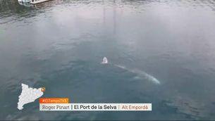 Balena grisa al Port de la Selva