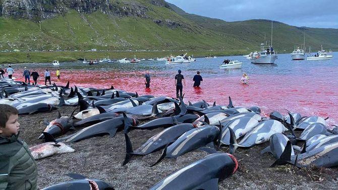Indignació per la matança de 1.400 dofins a les illes Fèroe, la més gran en un sol dia