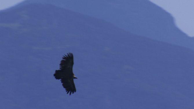 Mor un voltor per diclofenac al Pallars, el primer cas d'Europa, i demanen prohibir-lo