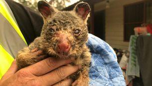 Gairebé 500 milions d'animals morts pels incendis a Nova Gal·les del Sud, a Austràlia