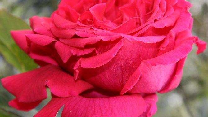 Rosa de cultiu (Pascal Heitzler)