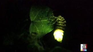 Imatge de:Ens il·luminem amb les cuques de llum