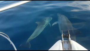 Dofins nedant al votant del vaixell de pescadors