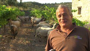 Un ramat d'ovelles espampola unes vinyes a Bonastre