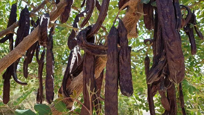 La garrofa, un producte KM0 que pot substituir la xocolata