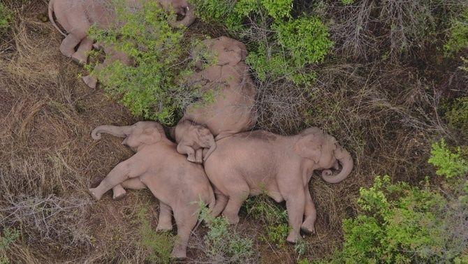 Els biòlegs experts en elefants tampoc saben per què una manada deambula per la Xina
