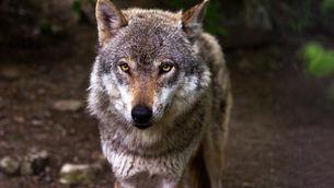 Imatge d'un llop, un animal que va tornar al Pirineu fa almenys 20 anys