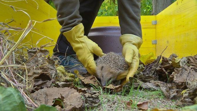 Les obres, trampa mortal per a eriçons i altres espècies protegides a Barcelona