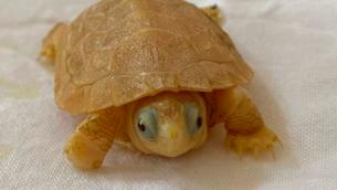 Descobreixen una cria de tortuga de rierol albina a la Terra Alta