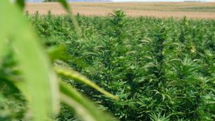 El boom del cultiu de cànnabis legal: un negoci rendible, però amb molts entrebancs