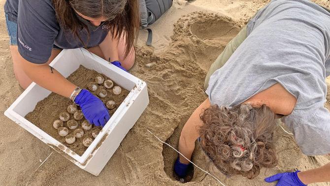 Troben a Calafell el primer niu de tortuga marina de la temporada, amb 146 ous
