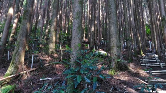 El bosc es va plantar el 1973 i ara, gairebé 50 anys després, la formació és visible amb el Google Earth