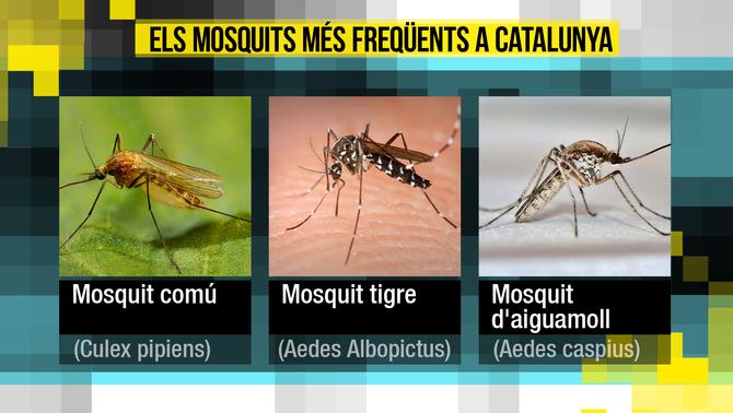 Els 4 millors remeis naturals (i infal·libles) per fer fora els mosquits