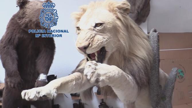 Cau una xarxa de tràfic de persones a Castelldefels que feia contraban d'animals dissecats